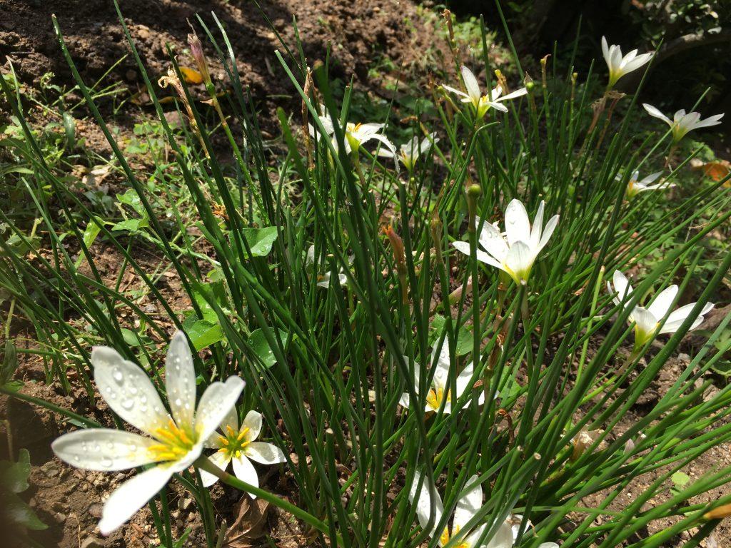 絢美の庭白い花