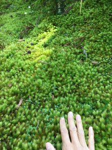 ふわふわの苔