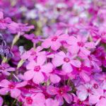 たかしの花
