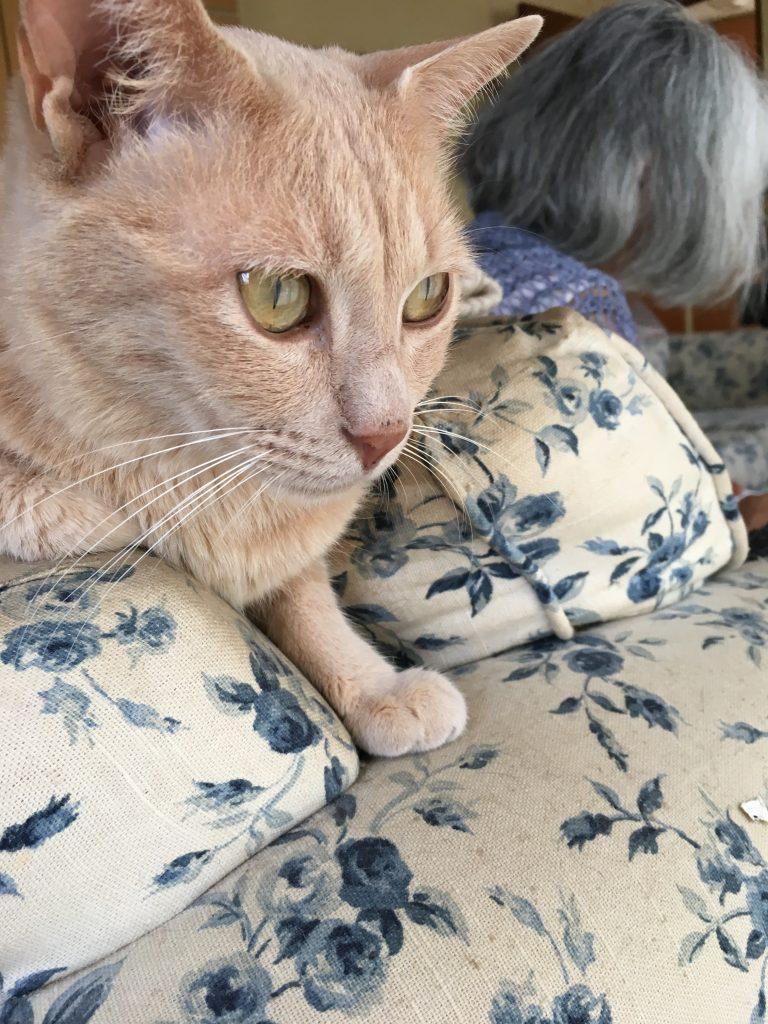 猫のベージュの写真