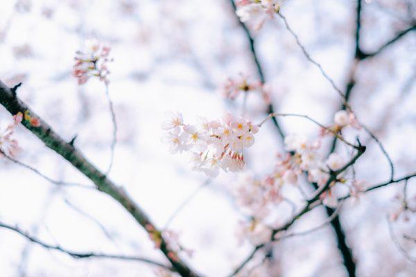 なむさんの桜